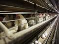 Mỹ: Phát hiện ổ dịch cúm gia cầm lớn nhất từ trước đến nay