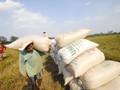 Tranh nhau mua lúa tạm trữ
