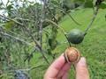 Khẩn trương phê duyệt quy hoạch phát triển cây mắc ca