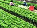 Nông dân Hà Nội lãi lớn vụ rau Tết Nguyên đán