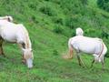 Đổ xô nuôi ngựa bạch