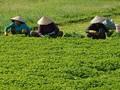 Rau má lãi gấp 4 lần trồng lúa