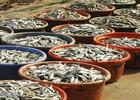 Ngư dân Khánh Hòa thu lãi cao nhờ cá nục được mùa, được giá