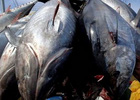Các nước Thái Bình Dương cắt giảm 50% đánh bắt cá ngừ con
