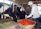 """Lâm Đồng trước ngưỡng """"bội thực"""" bò sữa"""