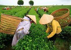 Trà Việt Nam không nhiễm dioxin