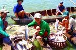 Phát triển cá tra: Chỉ trông chờ vào xuất khẩu liệu có đủ?