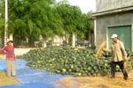 Người trồng dưa hấu méo mặt