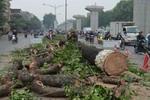 Phản hồi của Thành ủy Hà Nội về việc chặt hạ, thay thế cây xanh ở một số tuyến phố