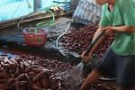 Khoai lang tím Vĩnh Long chưa tới 1.000 đồng/kg