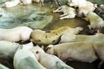 80 con heo ăn chất cấm được nhập vào Công ty Vissan