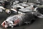 Vụ cá chết ở miền Trung: Loại bỏ nguyên nhân do tràn dầu, động đất, sóng thần