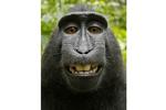 """Bức ảnh do một """"con khỉ tự sướng"""": Bản quyền thuộc về ai?"""