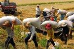 Giá gạo xuất khẩu đạt trung bình 439 USD/tấn trong năm 2014