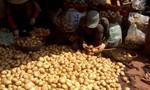 Hết cửa trộn đất vào khoai tây Trung Quốc
