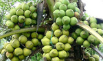 Nhiều nông dân Trà Vinh trở thành triệu phú nhờ trồng dừa sáp