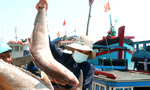 Hải sản miền Trung: Lại điệp khúc được mùa, rớt giá