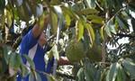 Giá sầu riêng đầu mùa giảm mạnh