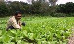 Làng rau sạch phấn khởi vì giá kỷ lục