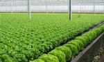 Thực phẩm bẩn: Thời cơ cất cánh cho nông nghiệp công nghệ cao