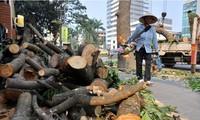Chặt hạ 6.700 cây xanh ở Hà Nội