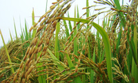 NSC bắt tay vào xây dựng nhà máy chế biến và bảo quản giống cây trồng