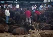 Thịt trâu và chuyện chính trị ở Ấn Độ