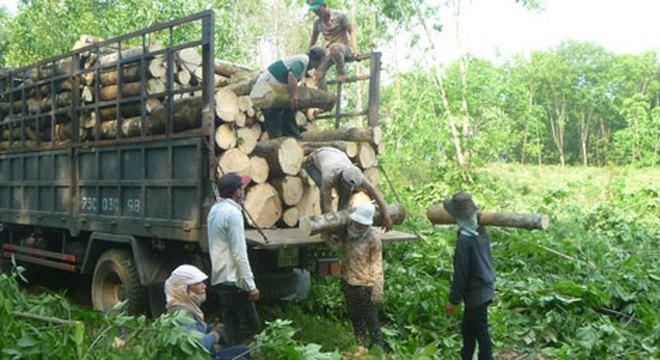 Nông dân chặt bỏ cây cao su vì giá mủ rớt thảm hại