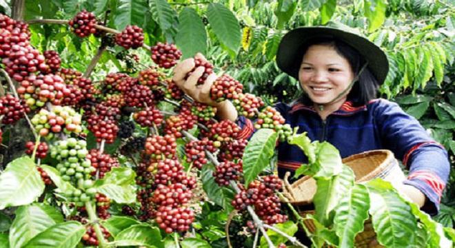 Cứu ngành cà phê: Cách nào?