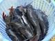 Nuôi cá lăng ở Đồng Nai thu lãi cả tỉ đồng