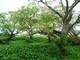 Chiêm ngưỡng rừng lộc vừng cổ thụ trị giá hàng trăm tỷ