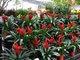 Hoa cảnh Tết: Hoa Tàu rẻ đẹp nhờ hóa chất cực độc