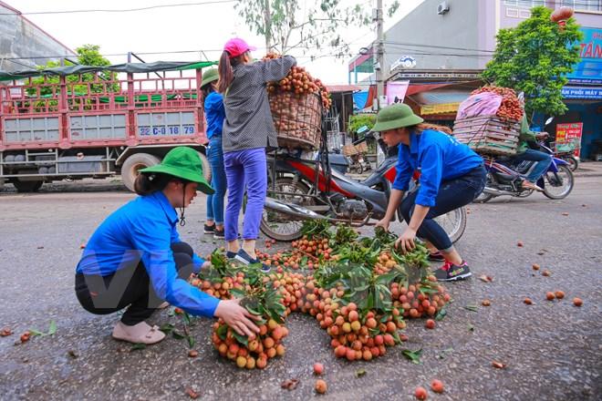 Các bạn sinh viên tình nguyện hỗ trợ sắp xếp lại vải cho người nông dân. (Ảnh: Minh Sơn/Vietnam+)