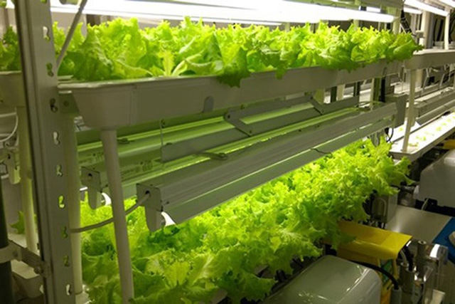 Mô hình trồng rau xà lách công nghệ cao. (Ảnh: FPT)