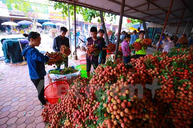 Giá vải ở Lục Ngạn năm nay dao động khoảng 15 – 20 ngàn đồng/kg. (Ảnh: Minh Sơn/Vietnam+)