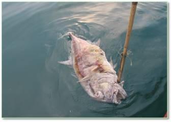 Các nhà khoa học thu mẫu cá Vẩu để lấy mẫu dịch màng bám ngoài da