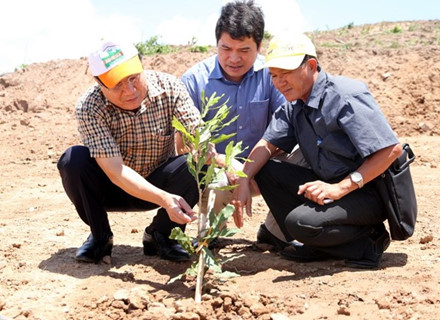 Cây mắc ca được trồng tại huyện Hướng Hóa đã bén rễ, phát triển tốt. Một số diện tích trồng thử nghiệm 3 năm đã ra hoa, kết trái. Ảnh: Hưng Thơ.