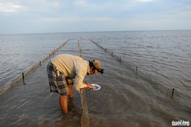 Một chủ bãi kiểm tra nghêu giống đang ươm ở gần bờ, khu vực nghêu chết nhiều nhất