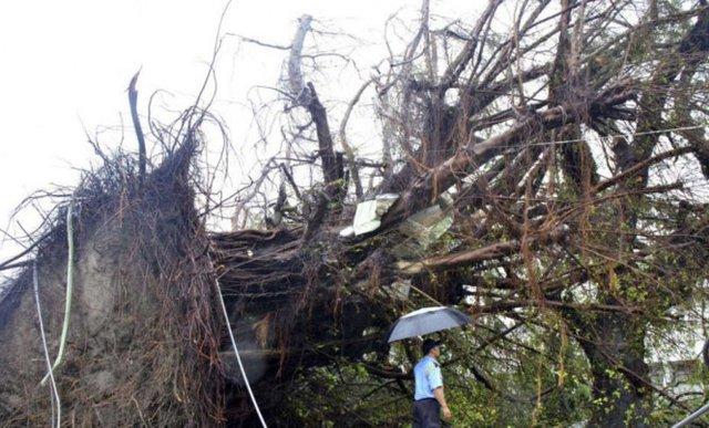 Một cây đa trăm tuổi bị bật gốc ở Đài Loan sau khi siêu bão tràn qua - Ảnh: scmp.com