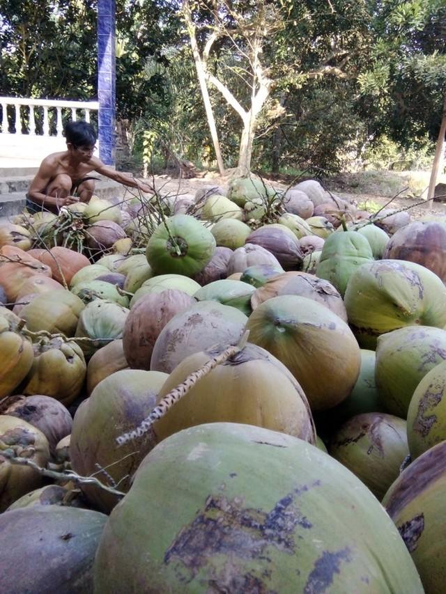 Giá dừa khô tại Bến Tre đang bị thương lái ép giá với lý do trái dừa xấu do ảnh hưởng của hạn, mặn