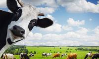 Vinamilk được cấp phép đầu tư thêm 3 triệu USD để sở hữu 100% công ty sữa tại Hoa Kỳ