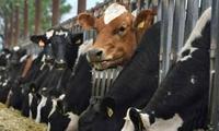 Úc cấm xuất khẩu bò sang Việt Nam: Xáo trộn thị trường trong nước?